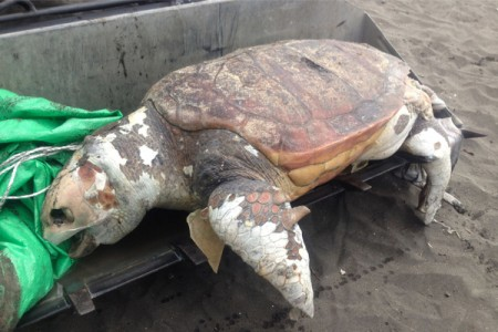 "70 dead sea turtles cast ashore in Chigasaki Kanagawa / Environmental group ""Unusually many but don't know why"""