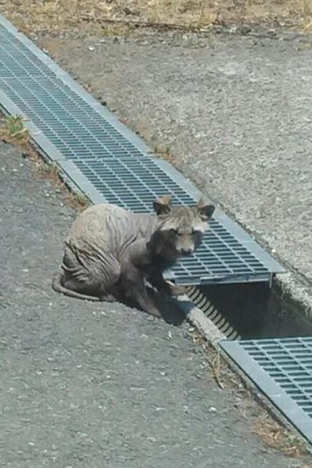 "[Express] ""Furless animal in Kawasaki city"""
