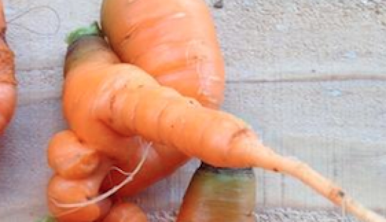 "Japanese citizen ""Home grown carrots are TOO STRANGE this year"""