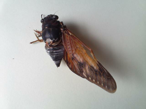 10 Citizen in 300km area Malformation of cicada is getting worse and worse - photos