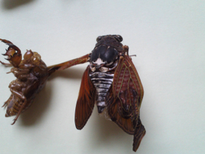 11 Citizen in 300km area Malformation of cicada is getting worse and worse - photos