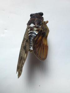 12 Citizen in 300km area Malformation of cicada is getting worse and worse - photos