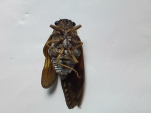 13 Citizen in 300km area Malformation of cicada is getting worse and worse - photos