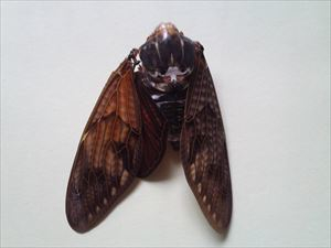14 Citizen in 300km area Malformation of cicada is getting worse and worse - photos