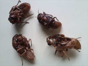 15 Citizen in 300km area Malformation of cicada is getting worse and worse - photos