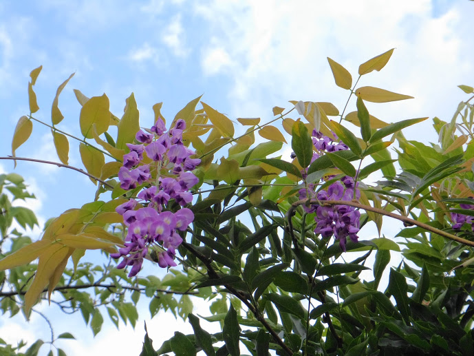 2 Japanese wisteria bloomed 3 months later than the right season in Iwaki city - Photos