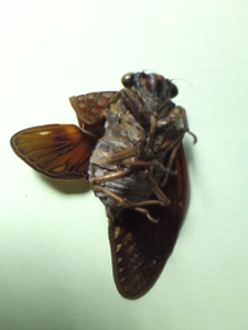 3 Citizen in 300km area Malformation of cicada is getting worse and worse - photos