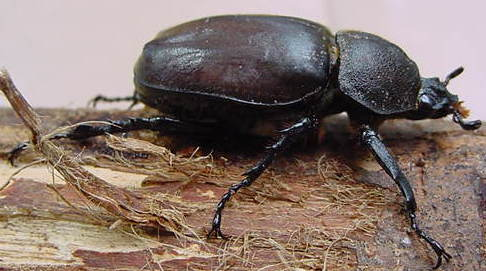 3 Headless Japanese rhinoceros beetle found in Fukushima - Photo, Video