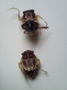 4 Citizen in 300km area Malformation of cicada is getting worse and worse - photos