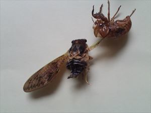 7 Citizen in 300km area Malformation of cicada is getting worse and worse - photos