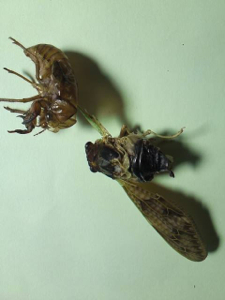 8 Citizen in 300km area Malformation of cicada is getting worse and worse - photos