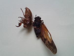 9 Citizen in 300km area Malformation of cicada is getting worse and worse - photos