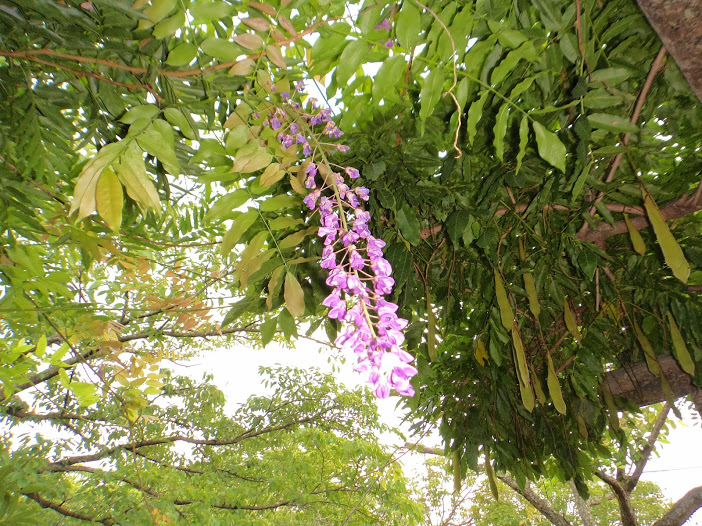 Japanese wisteria bloomed 3 months later than the right season in Iwaki city - Photos