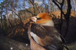 Stronger negative relationship of wild bird abundance and radiation level seen in Fukushima than Chernobyl