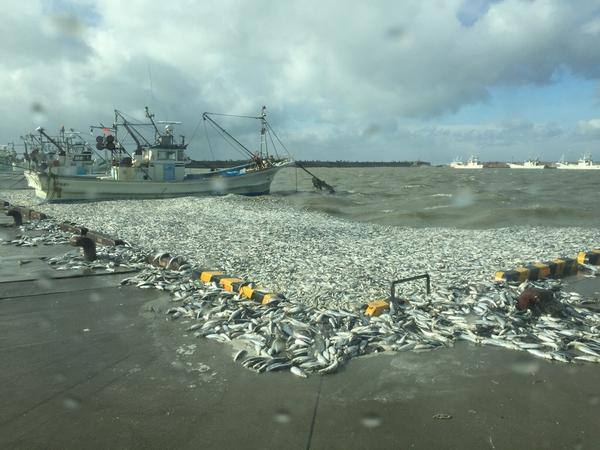 2 Numerous sardines washed ashore in Pacific coastal area of Hokkaido - Photos