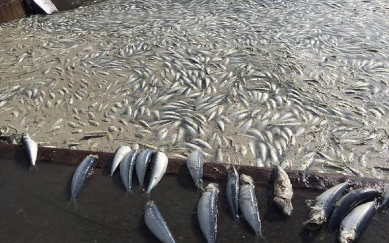 Numerous sardines washed ashore in Pacific coastal area of Hokkaido – Photos