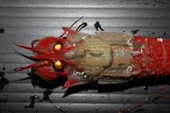 Strangely colored shrimp caught Shizuoka offshore – Photo