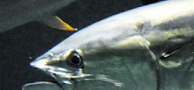 Over 80% of Tuna died since December in a major Tokyo aquarium