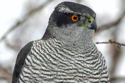 Breeding success of goshawk significantly dropping in North Kanto area / 0.1 μSv/h increase reduces 10% breeding