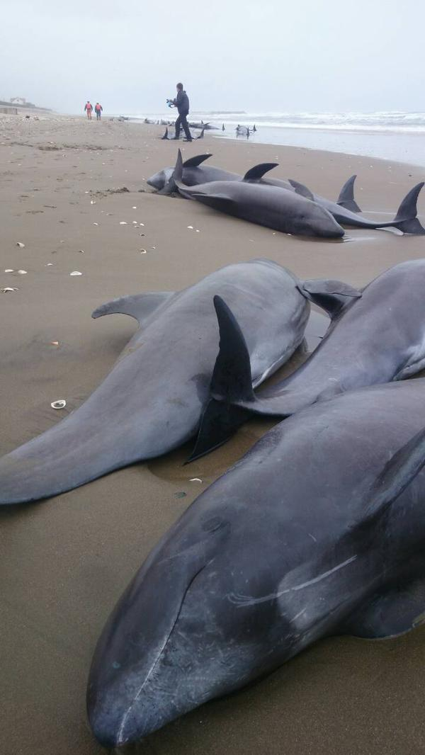 Photo 160 dolphins went aground in Ibaraki : Same as 1 week before 311