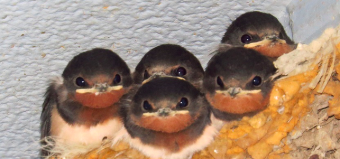 Cs-134/137 measured from 92 of 92 swallow nests in Fukushima / Highest density was 90,000 Bq/kg