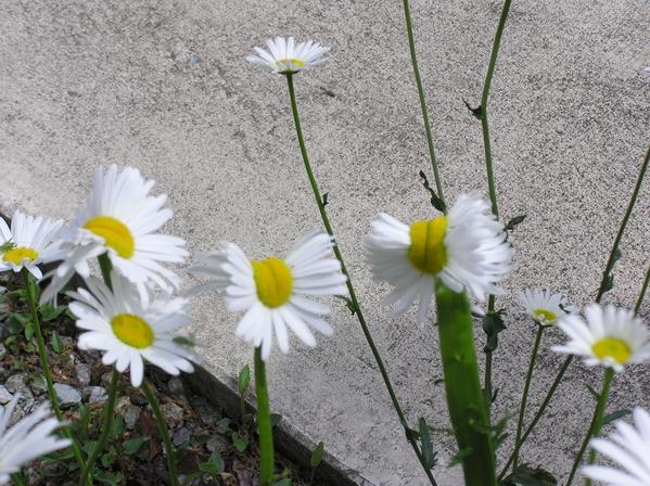 2 [Photo] Deformed Shasta daisy in Nasushiobara City : 0.5 μSv:h at 1m above the ground