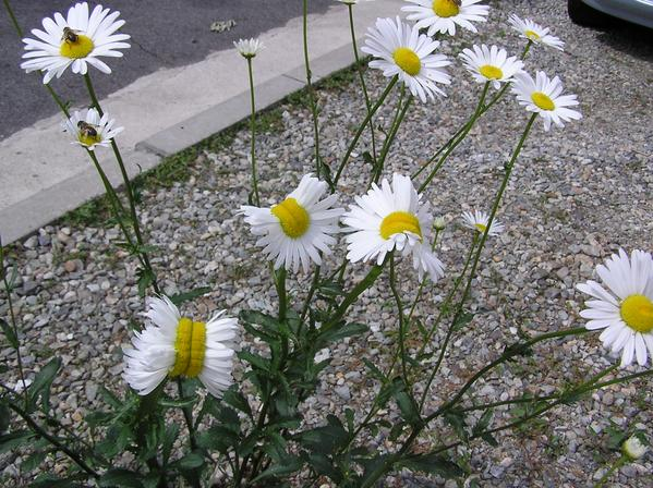 3 [Photo] Deformed Shasta daisy in Nasushiobara City : 0.5 μSv:h at 1m above the ground