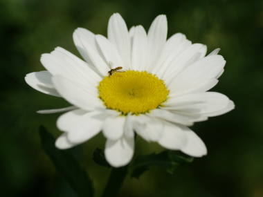 4 [Photo] Deformed Shasta daisy in Nasushiobara City : 0.5 μSv:h at 1m above the ground