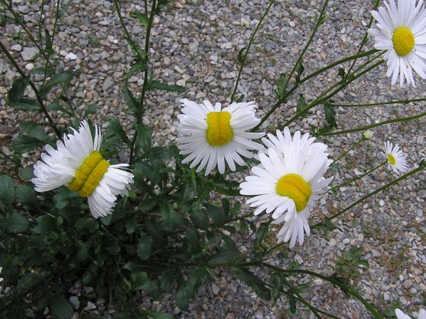 [Photo] Deformed Shasta daisy in Nasushiobara City : 0.5 μSv:h at 1m above the ground