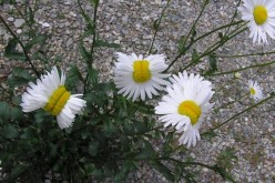 "[Photo] Deformed ""Shasta daisy"" in Nasushiobara City / 0.5 μSv/h at 1m above the ground"