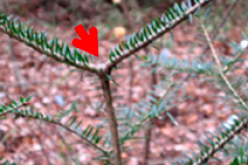 NIRS reported 98 percent of fir trees deformed in no-returning zone of Fukushima