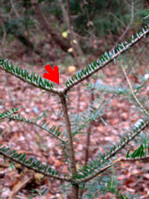 NIRS reports 98 percent of fir trees deformed in no-returning zone of Fukushima