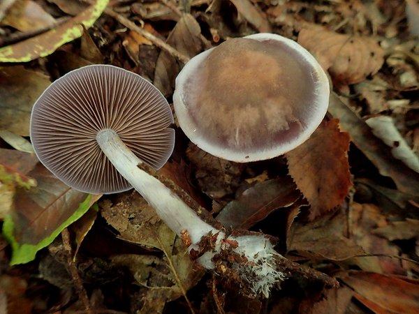 Photo 23,461 Bq:Kg detected from mushroom in Iwaki city Fukushima