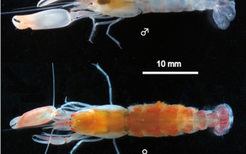 A new species of shrimp discovered in swimming beach of Japan