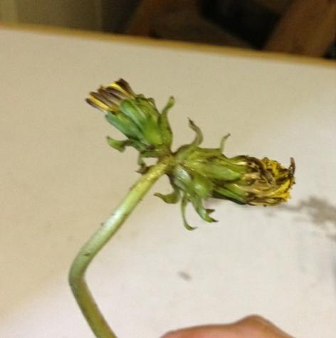 Double-headed dandelion again