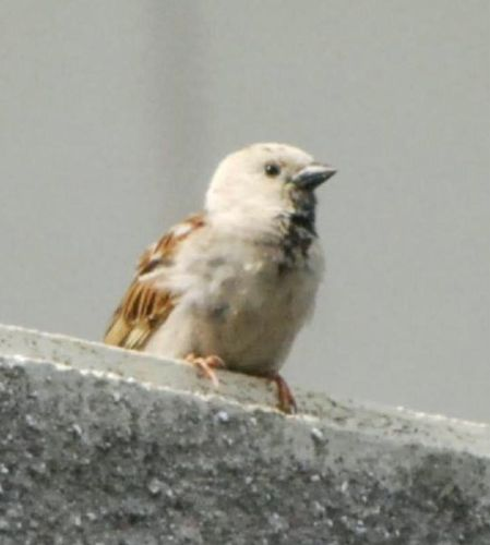 White feathered sparrow in Chiba