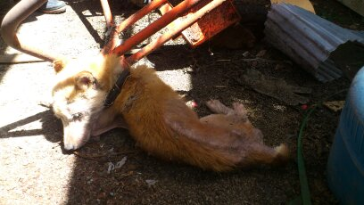 Dog survived with the dried meat sticking around the bone of dead cattle, 12km area 14