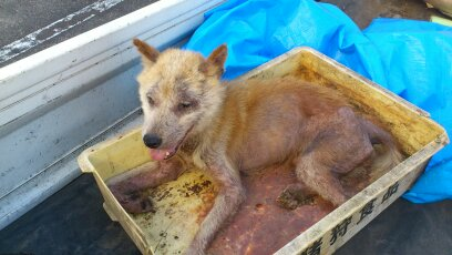 Dog survived with the dried meat sticking around the bone of dead cattle, 12km area 22