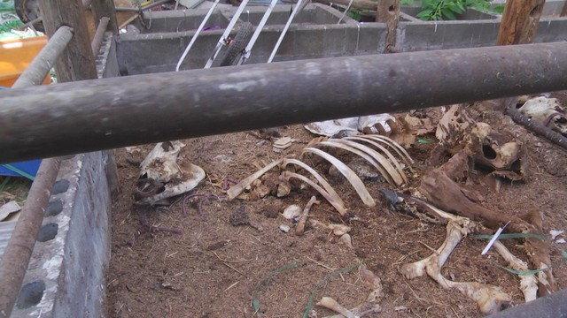 Dog survived with the dried meat sticking around the bone of dead cattle, 12km area 5