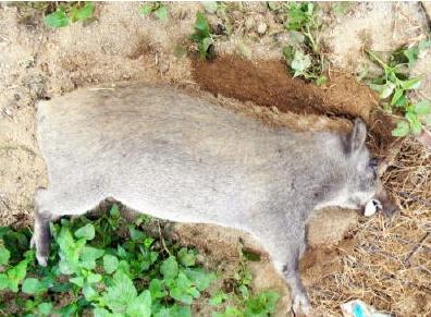 White wild boar found in Saga prefecture