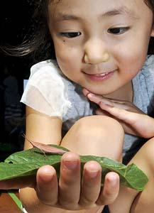 Pink grasshopper in Yamagata prefecture 2