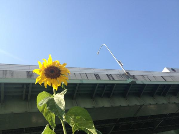 "[Express] ""Sunflowers are in full bloom in Nagoya"""