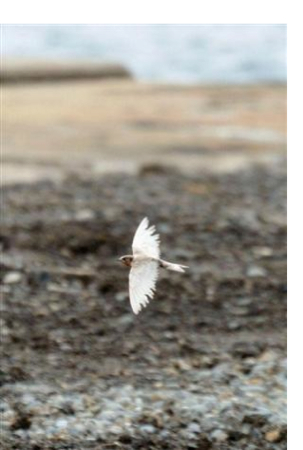 [Yablokov report about Chernobyl] Albino ratio of swallow jumped up in Ukraine 5