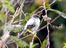 """[Albino] White sparrow found in Saitama, """"seen once in a few years, but never been this entirely white"""""""