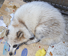 [Albino] White raccoon dog found in Fukushima