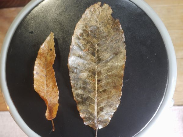[Not radiation effect] Deformed plant leaves to be enormous