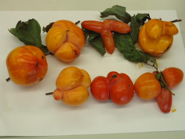 [Photos] Malformed persimmon mass-generated in Tokyo and Saitama