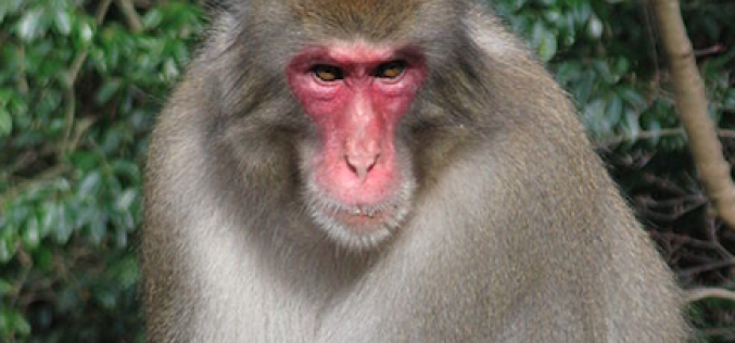 "Scientists ""Fukushima monkeys have significantly low level of white and red blood cell counts"""