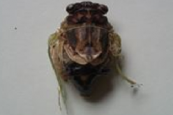 "Citizen in 300km area ""Malformation of cicada is getting worse and worse"" – photos"