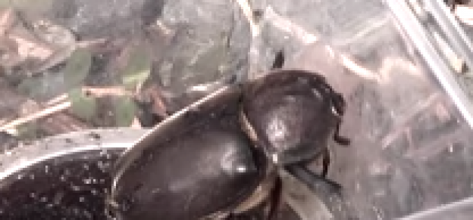 Headless Japanese rhinoceros beetle found in Fukushima – Photo, Video